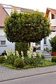 Vorgarten mit Acer platanoides 'Globosum' (Kugel - Ahorn) unterpflanzt mit Yucca filamentosa (Palmlilien) und Buxus (Buchs - Kugeln)