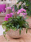 Phalaenopsis (Malayenblume, Schmetterlingsorchidee), Aechmea 'Del Mar'