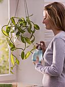 Frau besprüht Vanilla planifolia 'Echte Vanille' (Vanille - Orchidee)