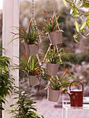 Tillandsia flabellata (Tillandsien) in kleinen Eimern im Fenster aufgehängt