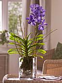 Vanda 'Blue Magic' (Tropische Orchidee)