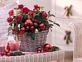 Rosa (Topf - Rosen) in Korb, weihnachtlich geschmückt