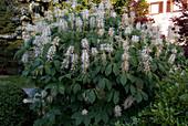Aesculus parviflora (Strauch - Rosskastanie)