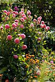 Dahlia 'Acrobate' (Pompon-Dahlie) im Bauerngarten, davor Calendula