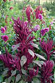 Amaranthus cruentus 'Velvet Curtains' (Fuchsschwanz)