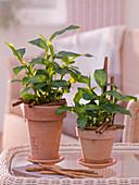 Elettaria cardamomum syn. Amomum cinnamomum (Zimtpflanze), Teekraut