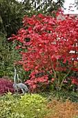 Acer japonicum 'Aconitifolium' (Eisenhutblättriger Japan - Ahorn) in Herbstfarbe, Metall - Kraniche als Dekoration