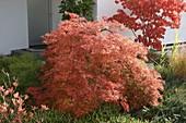 Acer palmatum 'Dissectum' (Schlitzahorn) im Heidebeet