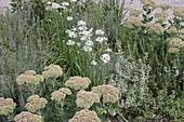 Allium tuberosum (Schnitt - Knoblauch), Sedum telephium (Fetthenne), Calamintha (Steinquendel), Lavandula (Lavendel)