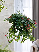 Aeschynanthus 'Mona Lisa' (Schamblume) als Ampelpflanze im Zimmer