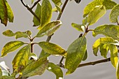 Chlorose an Kalmia latifolia (Berglorbeer)