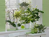 Grün-weiße Fenstergestaltung mit Phalaenopsis (Malayenblume)