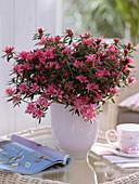 Rhododendron simsii 'Kinku Saku' (Zimmerazalee)