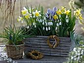 Galanthus (Schneeglöckchen), Narcissus 'Topolino' 'Tete a Tete' (Narzissen)