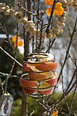 Malus (Apfelspalten) in Halterung für Meisenknödel an Zweig gehängt