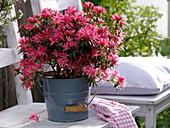 Rhododendron simsii 'Kinku Saku' (Zimmerazalee), Neuzüchtung