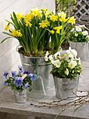 Narcissus 'Tete a Tete' (Narzissen), Viola wittrockiana (Stiefmütterchen)