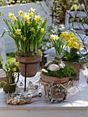 Narcissus 'Tete a Tete' (Narzissen), Primula elatior (Primel) in Terracotta