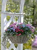 Ampelkorb bepflanzt mit Bellis (Tausendschön), Viola cornuta (Hornveilchen)