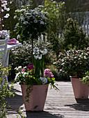 Viburnum tinus (Lorbeerschneeball), Stamm unterpflanzt mit Narcissus 'Inbal'
