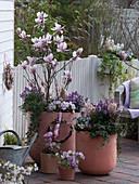 Große Kübel mit Magnolia soulangeana (Tulpen - Magnolie)