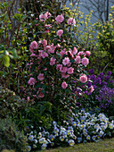 Camellia 'Spring Festival' (rosa Kamelie), Viola cornuta 'Etain' (Hornveilche