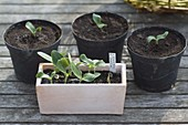 Ausgesäte Cucurbita (Zucchini) in Töpfe vereinzeln