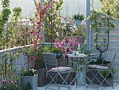 Balkon mit Prunus (Kirschbaum), Pyrus (Spalier - Birne), Prunus persica
