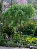Acer palmatum 'Dissectum' (Japanischer Schlitzahorn)