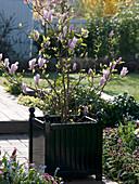 Magnolia soulangeana (Tulpen - Magnolie) in quadratischem Kübel