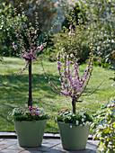 Prunus triloba (Mandelbäumchen), Stämmchen unterpflanzt