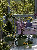 Balkon mit Prunus triloba (Mandelbäumchen)