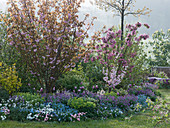 Frühlingsbeet mit Prunus 'Kanzan' (Zierkirsche) 'Triloba' (Mandelbäumchen)