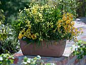Cytisus (Ginster), Erysimum 'Orange Zwerg' (Goldlack), Euphorbia 'Antigone'