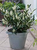 Zinkeimer mit Prunus laurocerasus 'Otto Luyken' (Zwerg - Kirschlorbeer)