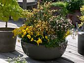 Schale mit Cytisus 'Zeelandia' 'Apricot Gem' 'Allgold' (Ginster)