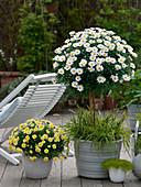 Argyranthemum 'Stella 2000' 'Sole Mio' (Margeriten), Busch und Stamm