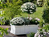 Argyranthemum frutescens 'Stella 2000' (Margeriten), Busch und Stamm