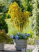 Cytisus scoparius 'Golden Tears' (Hängender Ginster als Stamm) unterpflanzt