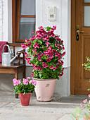 Kübel mit Pelargonium grandiflorum 'Candy Flowers Dark Red' rot-schwarz