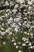 Malus (Apfelbaum) in Blüte