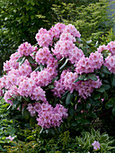 Rhododendron 'Scintillation' (Alpenrose)