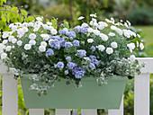 Argyranthemum frutescens Madeira 'Double White' (Margeriten), Ageratum