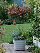 Cytisus 'Maria Birkwood' (Ginster - Stämmchen) unterpflanzt mit Alopecurus