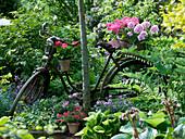 Altes Fahrrad an Baum gelehnt als Dekoration mit Pelargonium zonale