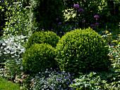 Buxus (Buchs - Kugeln), Anemone sylvestris (Waldanemone), Viola cornuta