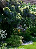 Pergola mit Wisteria floribunda (Blauregen)