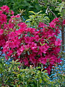 Rhododendron 'Georg Arends' (Japanische Azalee)