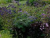 Naturgarten mit Angelica gigas (Rotblühender Engelwurz)