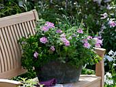 Pelargonium 'Pink Champagne' (Duftgeranie mit Ingwerduft)